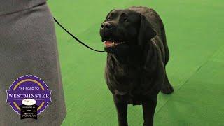 Best of Breed Minute: Labrador Retriever