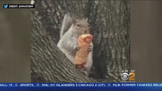SEE IT: Egg Roll Eating Squirrel