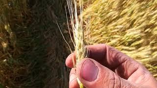 Трипсы на озимой. Обзор озимой пшеницы.