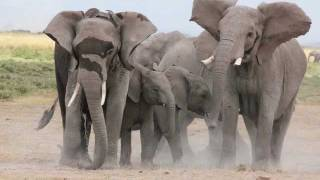 Amboseli Trust for Elephants - Collaring Operation 2011