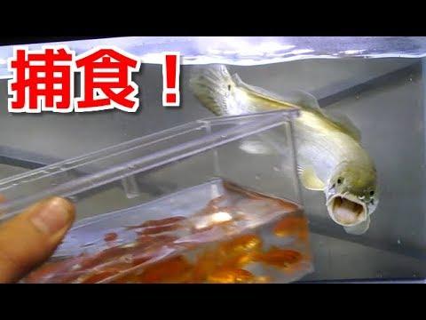 腹ペコの肉食魚、アミアカルヴァに大量の金魚を与えた結果・・・!