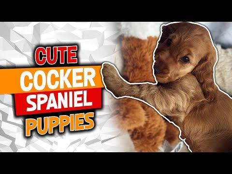 Cocker Spaniel Puppies Funny Video Clips 2018