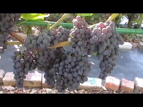 Сорт винограда кишмиш Венус Сидлис