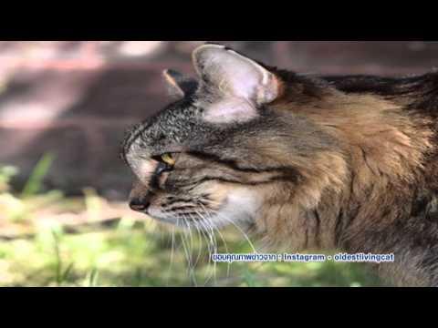 ครอบครัวข่าวเด็ก ตอน คอร์ดูรอย แมวอายุยืนที่สุดในโลก (31มี.ค.59)