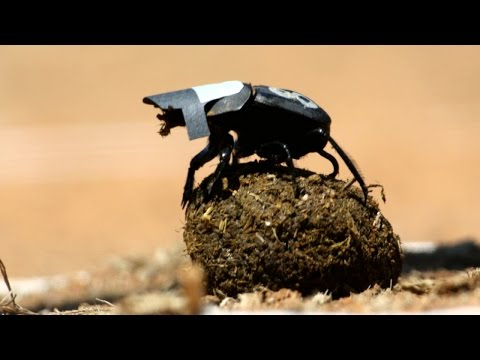 Dung Beetles Navigate Using the Stars