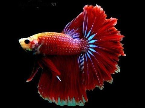 """Рыба """"Петушок"""". Бойцовая рыба или сиамский петушок. Уход, содержание и размножение."""