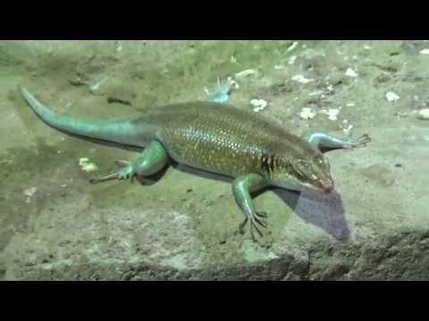 Male Rainbow Skink (Trachylepis margaritifera) Prague Zoo  זכר חומט קשת