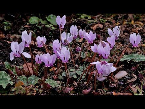 Cyclamen hederifolium / Alpenveilchen / Sowbread