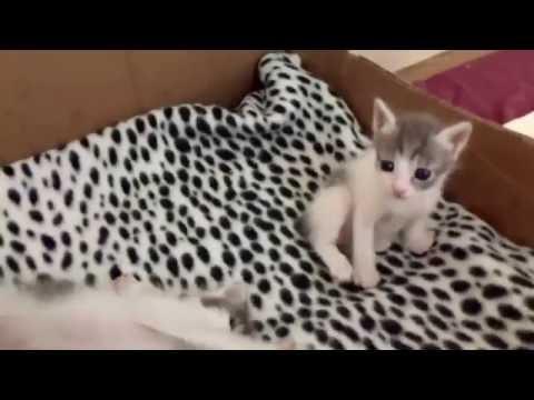 Cinder's Boys - Japanese Bobtail Kittens - 7/9/16