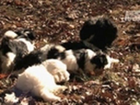 Havanese Puppies | New York | Connecticut | Massachusetts