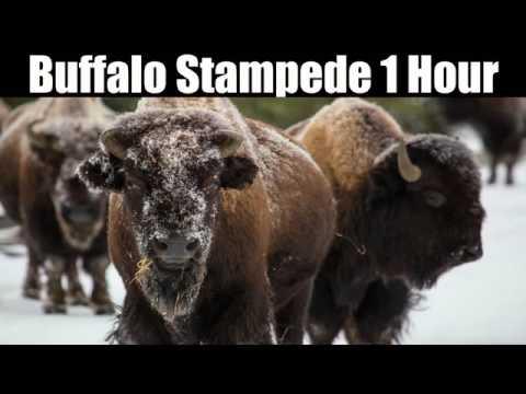 Buffalo Stampede 1 Hour Youtube