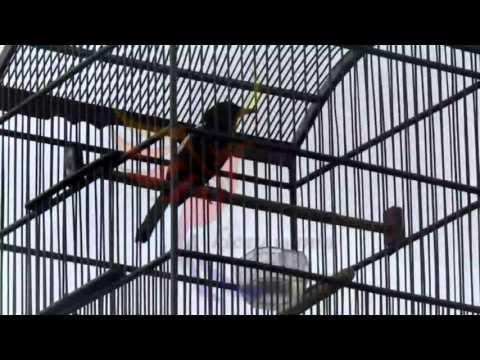 Suara Kacer Pikat Gacor Mantap Bro (Magpie Robin)
