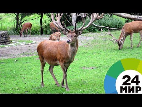 Гордые и красивые: благородные олени возвращаются в Армению - МИР 24