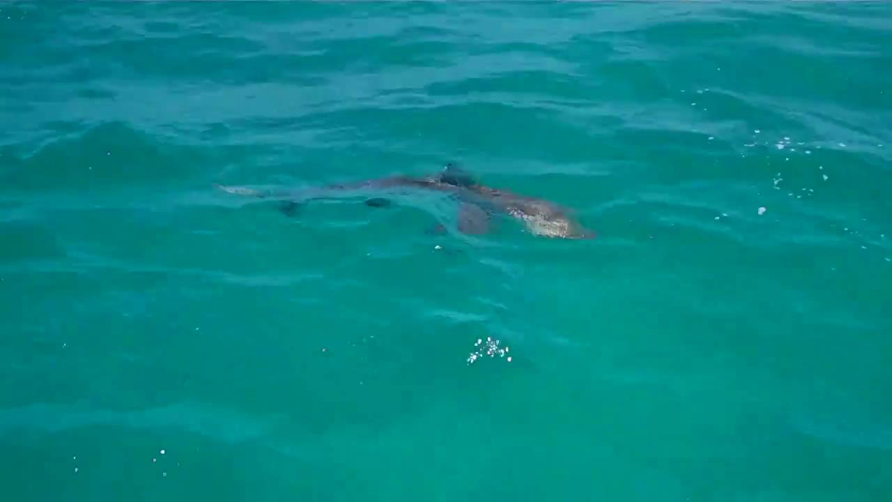 Spinner shark fishing palm beach fl march 2011 youtube for Shark fishing gear for beach