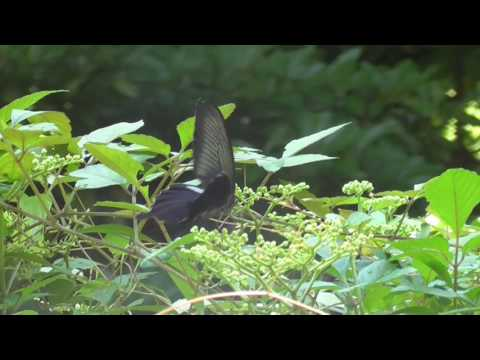 The Spangle (Papilio protenor)