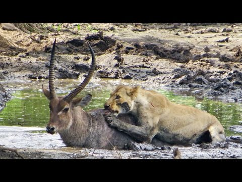 Lone lioness breaks waterbuck's leg to slow it down before finishing it off | Timbavati, Kruger Park