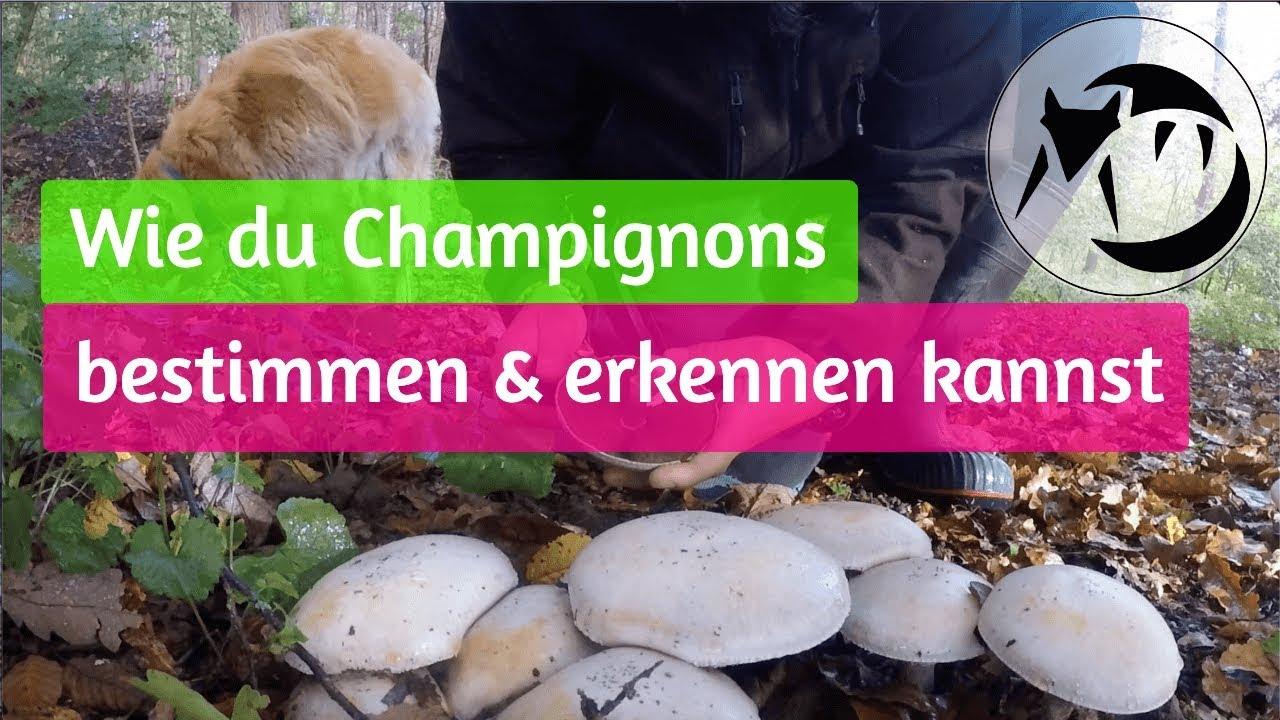 Champignon Bestimmen