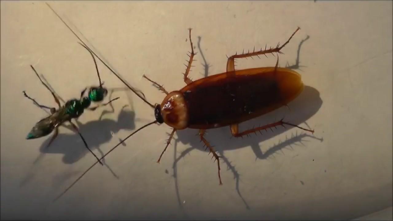 扁頭泥蜂將蟑螂轉化成牠的傀儡 CC中字 - YouTube