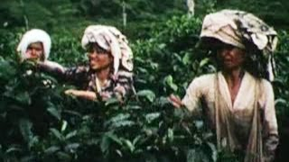 Bandung, Indonesia- A Tea Plantation, 1960- Tempo Dulu