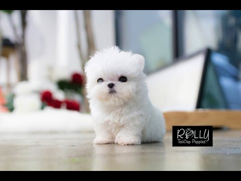 MUST WATCH!! LOOK HOW CUTE THIS MALTESE IS!!!! Mickey - Rolly Teacup Puppy