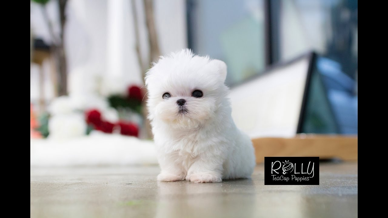 MUST WATCH!! LOOK HOW CUTE THIS MALTESE IS!!!! Mickey - Rolly Teacup Puppy - YouTube