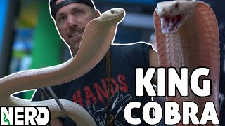RAREST ALL WHITE KING COBRA IN THE WORLD - I BOUGHT IT