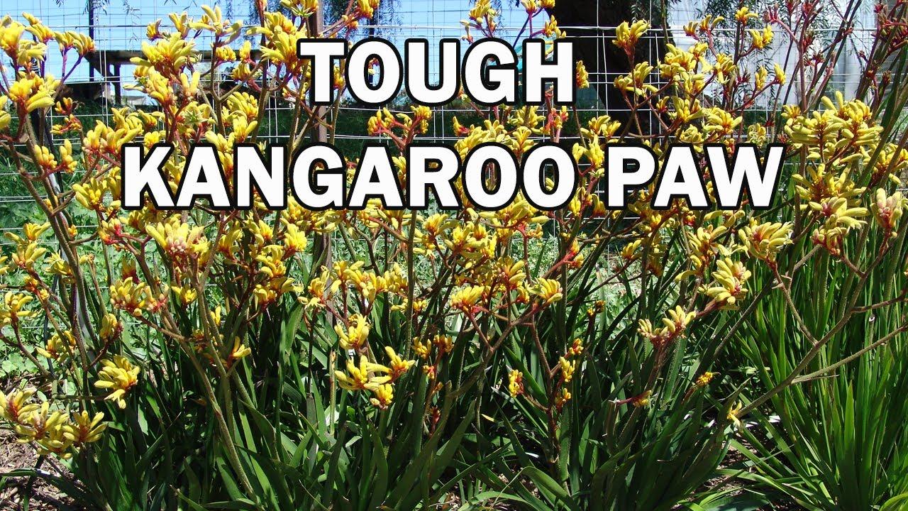 Gold Velvet Anigozanthos Is A Landscape Kangaroo Paw Ozbreed Velvet Kangaroo Paws Range Youtube,Boneless Ribs In Oven At 400
