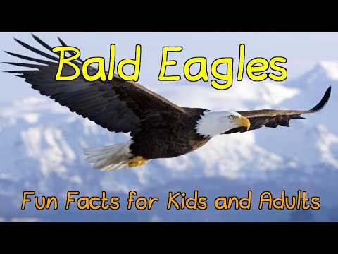 Amazing Facts About Bald Eagles - Fun Facts For Kids And Adults