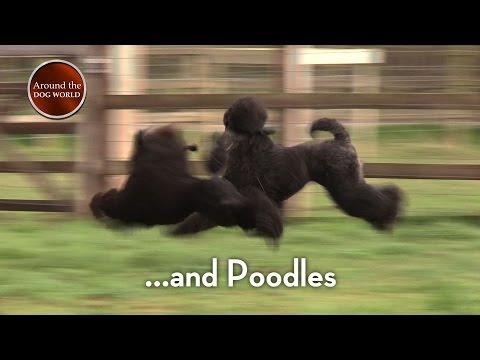 Around the Dog World - Terriers and more 2017 - Teaser