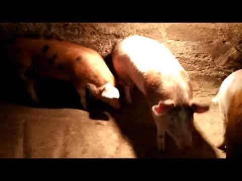 Расход корма и денег на свиней за 5 месяцев откорма!