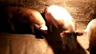 видео: Расход корма и денег на свиней за 5 месяцев откорма!