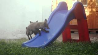 * * Cute fox cubs playing on slide! * *