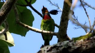 五色鳥的叫聲於吳江村.MOV thumbnail