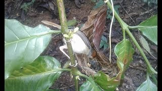 Sarang burung prenjak bambu indukannya sedang meloloh anakannya di dalam sarang