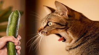Koty Boją Ogórków - Koty + Ogórki - Śmieszne Koty 2016