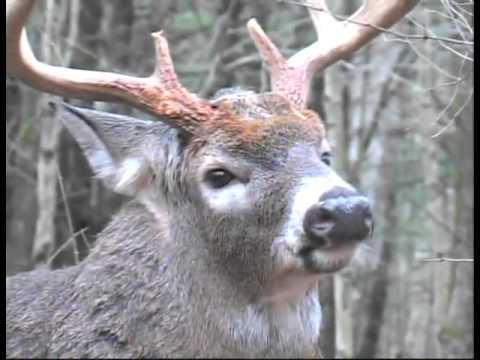 Understand Whitetail Deer Behavior During The Rut