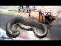 How to Catch Biggest Giant Snake Anaconda Python Cobra vs Human Excavator Bulldozer Caught on Tape