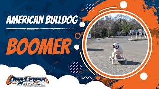 "American Bulldog ""boomer:"" American Bulldog Trainers In Northern Virginia"