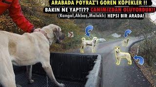 Gambar cover KANGAL POYRAZ'A KAFA TUTMANIN SONU BAKIN NE OLDU!!! (Kangal , Akbaş , Malaklı Hepsi Bir Arada)