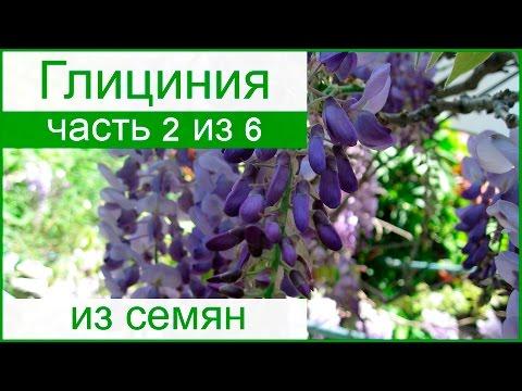 Выращивание глицинии из семян – посев семян и уход за саженцами
