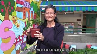Publication Date: 2018-12-05 | Video Title: 一串紅栽種貼士
