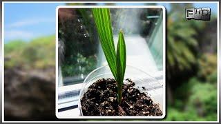 Как вырастить Канарскую Финиковую пальму из косточки в домашних условиях - (часть 2)