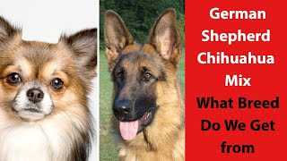 German Shepherd Chihuahua Mix: What Breed Do We Get from