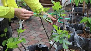 Another Look at Thinning Figs & Training Young Trees