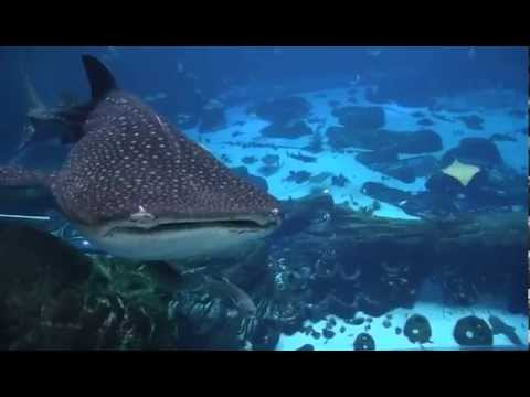 Georgia Aquarium Shark Swim - YouTube