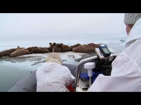 As sea ice vanishes, Pacific walruses face big changes