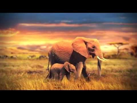 A True Story of Elephant Compassion as seen by Louis Locke, Botswana 2012