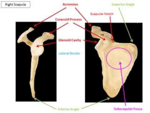 appendicular skeleton virtual lecture youtube