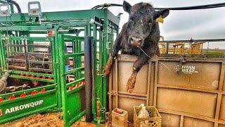 Bull Day!