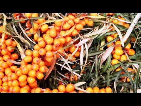 How to pick Sea Buckthorn berries  🔴 [hippophae rhamnoides] Havtorn